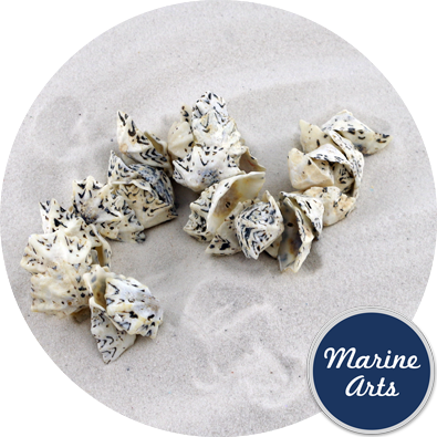 8075 - Drilled - Star Limpet - Sea Shell Garland