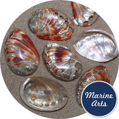 - Polished Abalone - Red - 6-7.5cm