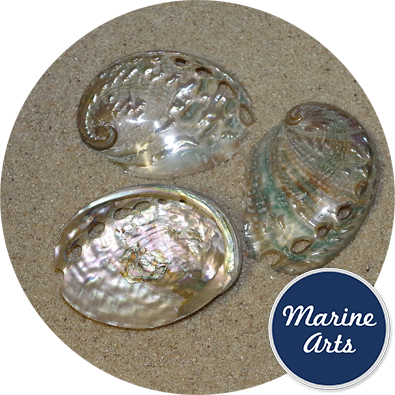 - Polished Abalone - Aqua Blue