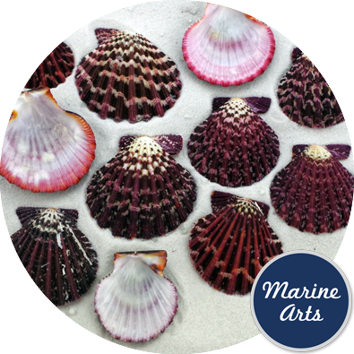 8220 - Calico Fans - Scallop Shells