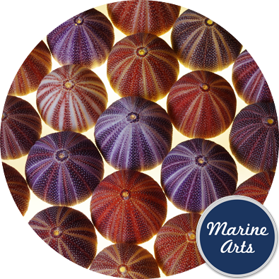 8251-P16 - Sea Urchin Cornish Carnival 8-10cm