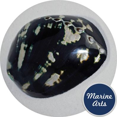 - Polished Black Abalone  11cm