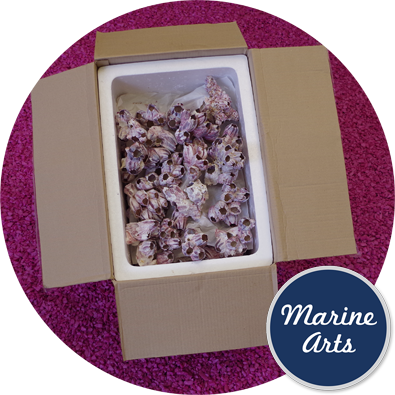 8445 - Barnacles - Medium & Large Clusters - 7.5-17.5 cm - Bargain Box