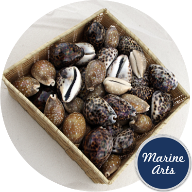 8452-P14 - Jungle Cowrie Selection