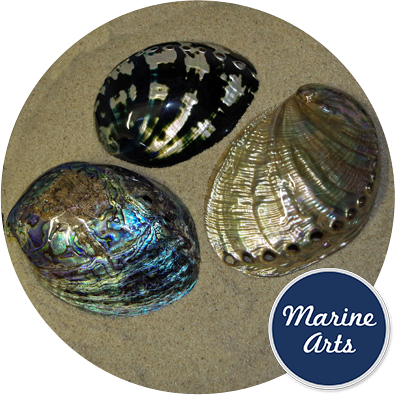 8469 - Luxury Abalone Collection (3 Shells)