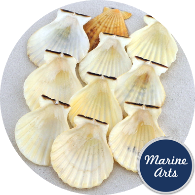 8481 - Candy Fans - Scallop Shells - 50 Pack