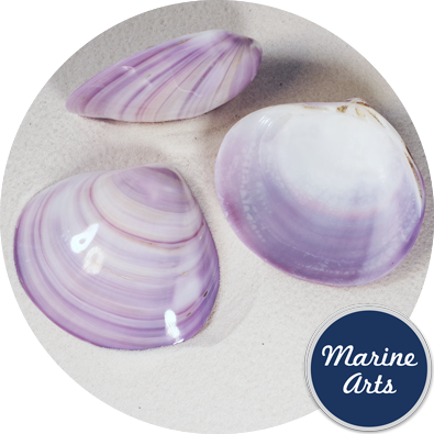 Polished Violet Clam