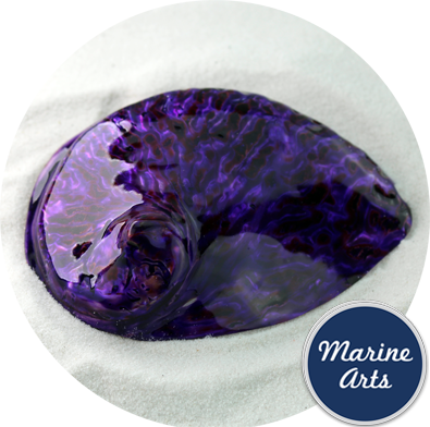 8575-P16 - Polished Royal Purple Abalone  100-125mm