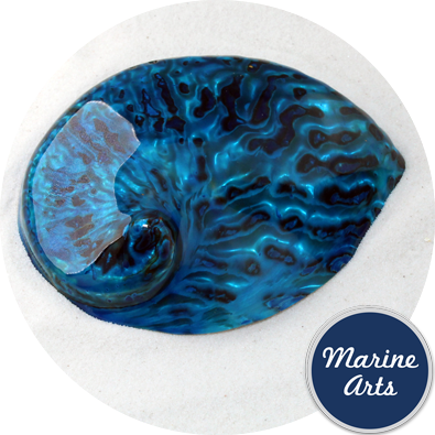 8580-P16 - Polished Aqua Abalone  100-125mm