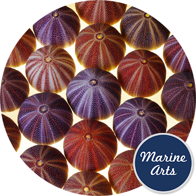 8600 - Sea Urchin Cornish Selected 10-12.5cm
