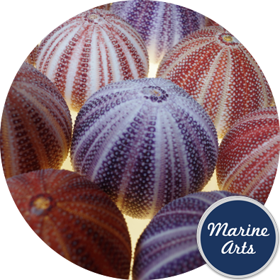 8600 - Sea Urchin Cornish Carnival 10-12cm