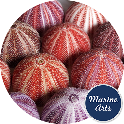 8601 - Sea Urchin Cornish Feature 12cm +