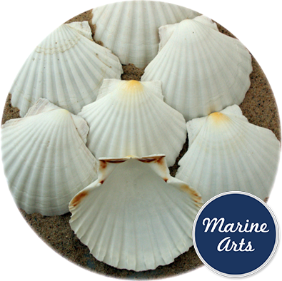 8602 - Atlantic Scallop Shells Medium 10-11cm
