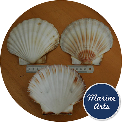 - Atlantic Scallop Shells - Large - 12-13cm