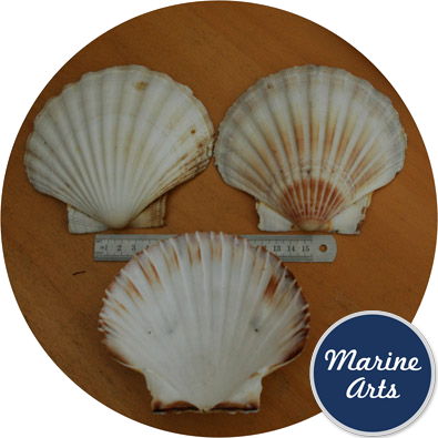 8604/100 - Atlantic Scallop Shells - Large - 100 Shell Catering Pack