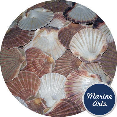8605C - Sea Washed - Flat Scallop Shells