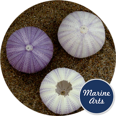 8606 - Sea Urchin - White Lilac