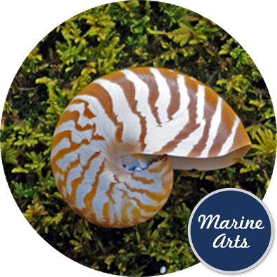 - Polished Natural Nautilus - Large - 10 - 12.5cm