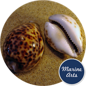 Cowrie Tiger Large 7-9cm