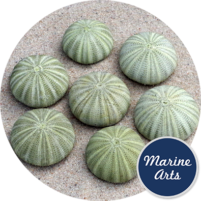 - Sea Urchin Green