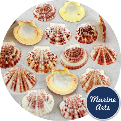8721 - Candy Fans - Scallop Shells