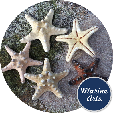 - Starfish Knobbly Medium 7.5-10cm