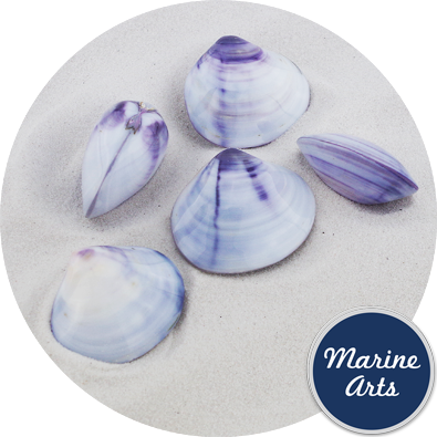 - Polished Purple Clam 5-7cm
