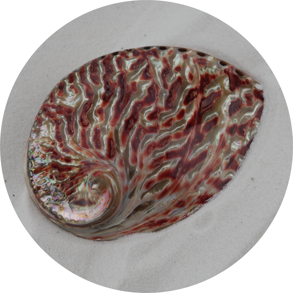 - Polished Abalone - Red - 12.5cm