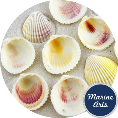 8482 - Cockle Shells - 50 Pack