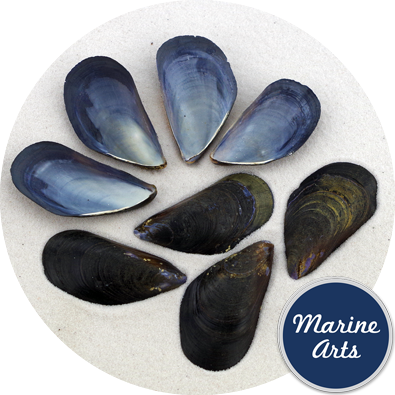 8824 - Mussels Atlantic Medium 50 Pack