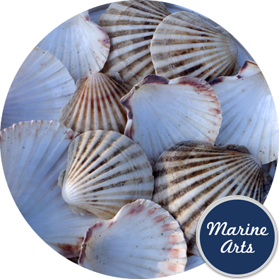 8597C - Sea Washed - Scallop Shell Cups