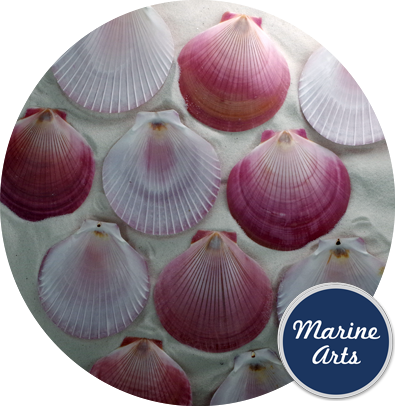 Harvest Moon Scallop - 100 Pack