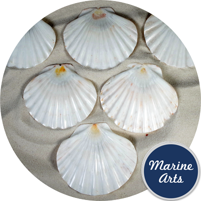 8558 - Polished Flat Scallop