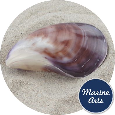 - Polished Twisted Clam Pair