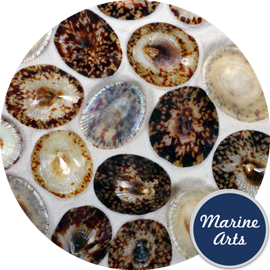 - Polished Limpet Shells - 50mm