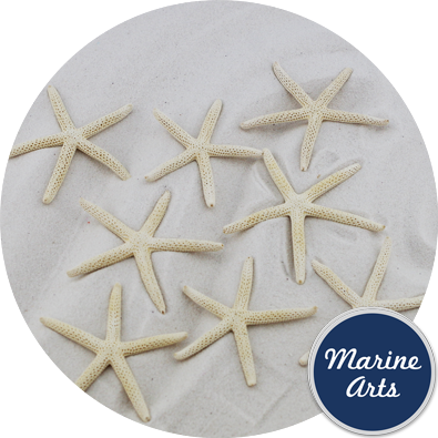 - Starfish Sun Bleached Small 7.5-10cm