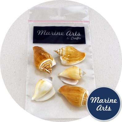 8828-P9 - Hobby & Craft Pack - Tulip Conch